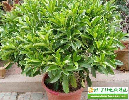 防辐射植物四剑客之垂叶榕